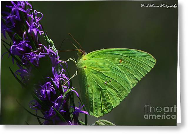 Cloudless Sulpher Butterlfy Greeting Card by Barbara Bowen