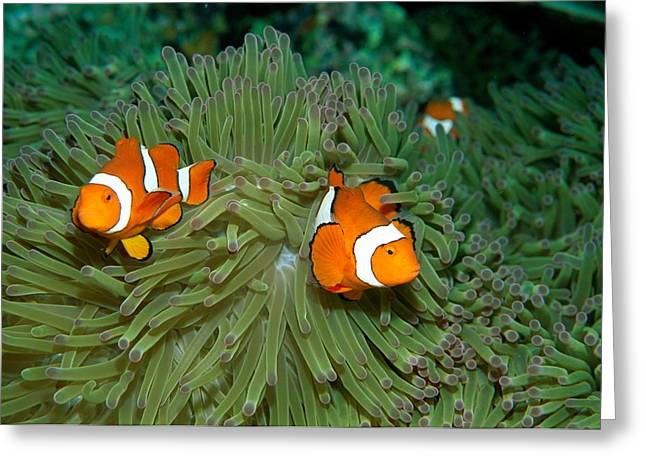 Clown Anemonefish In The Tentacles Greeting Card by Wolcott Henry