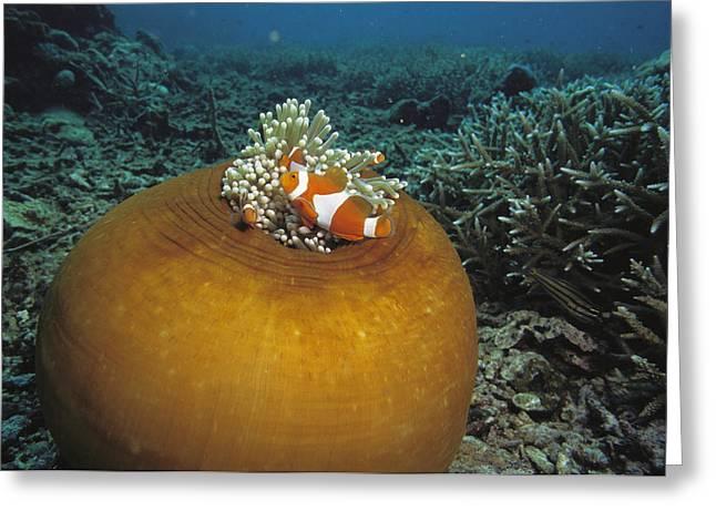 Clown Anemonefish Swim Past A Large Sea Greeting Card by Tim Laman