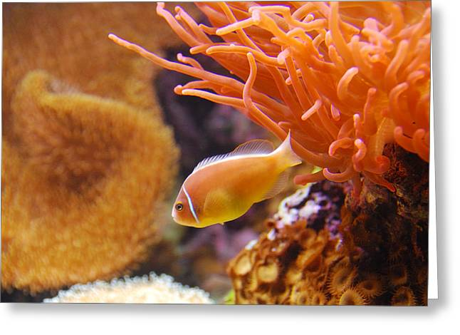 Clown Fish Greeting Card by Anthony Citro