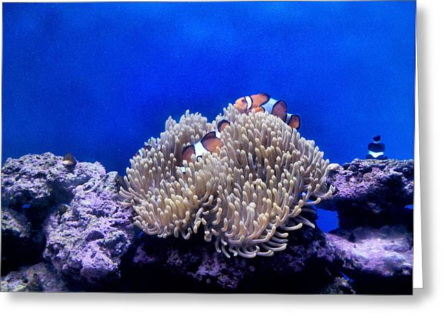 Clown Fish Resting Greeting Card