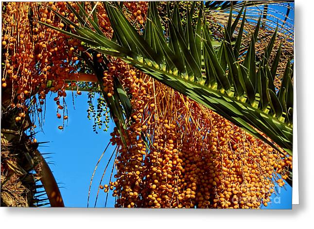 Greeting Card featuring the photograph Cluster Of Dates On A Palm Tree  by Alexandra Jordankova