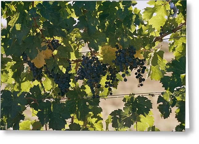 Clusters Of Grapes Hanging From Vines Greeting Card
