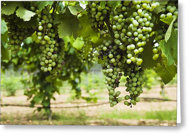 Clusters Of Grapes On The Vine At Fall Greeting Card by James Forte
