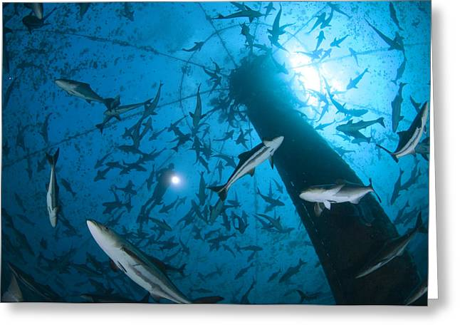 Cobia Inside A Submerged Deepwater Cage Greeting Card by Brian J. Skerry