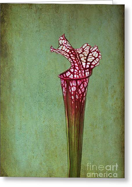 Cobra Lily Greeting Card