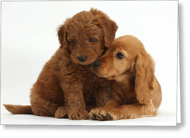 Cocker Spaniel Puppy And Goldendoodle Greeting Card by Mark Taylor