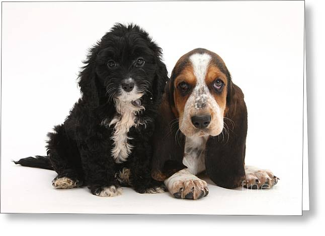 Cockerpoo And Basset Hound Puppies Greeting Card