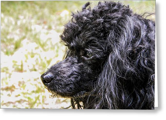 Greeting Card featuring the photograph Coco Poodle by Ester  Rogers