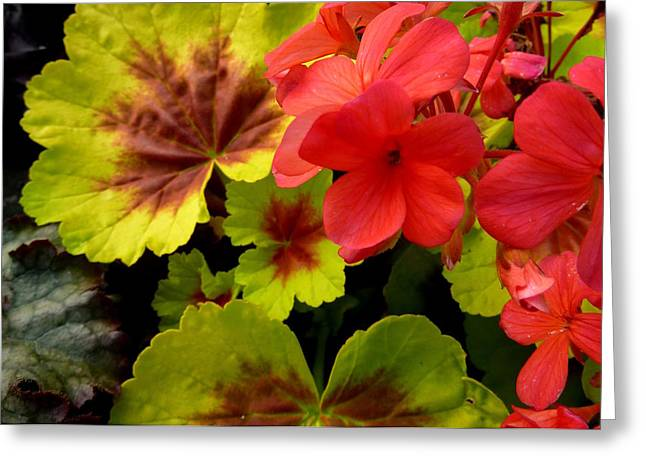 Coleus And Impatiens Blooms Greeting Card by Cindy Wright