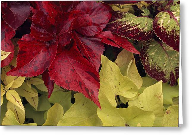Coleus And Other Plants In A Window Box Greeting Card by Paul Damien
