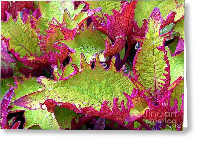Coleus With Raindrops Greeting Card by Judi Bagwell