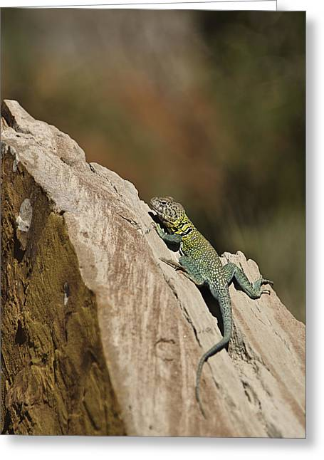 Collared Lizard Greeting Card by Melany Sarafis