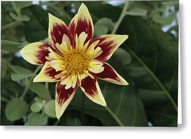 Collerette Dahlia Greeting Card by Archie Young