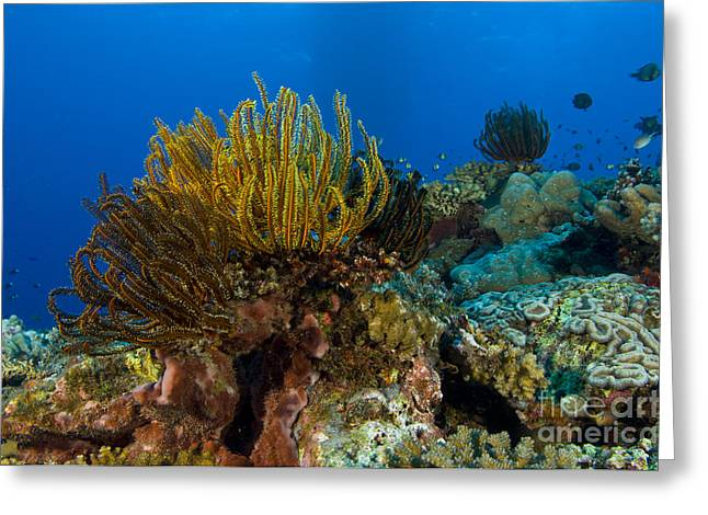 Colony Of Crinoids, Papua New Guinea Greeting Card by Steve Jones