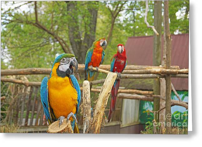 Color Of Parrots  Greeting Card