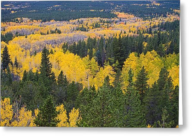 Colorado Autumn Aspens Boulder County  Greeting Card by James BO  Insogna