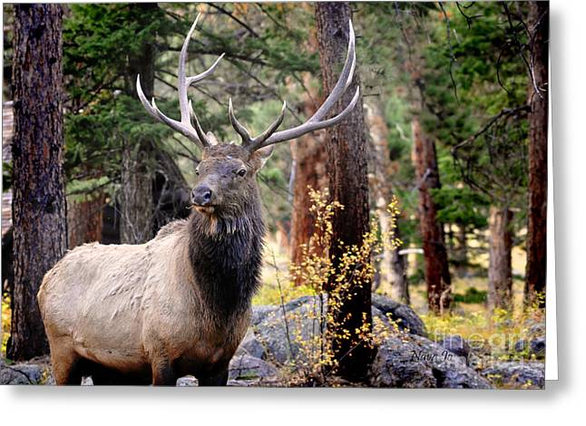Greeting Card featuring the photograph Colorado Elk by Nava Thompson