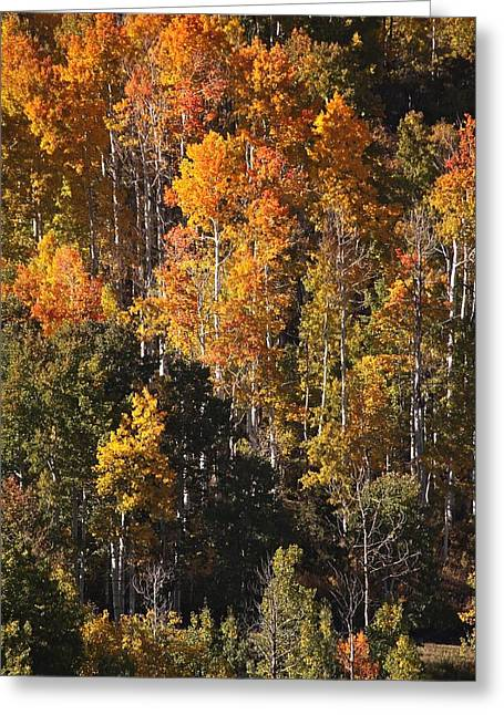 Colorado Flaming Aspen Greeting Card by Drusilla Montemayor