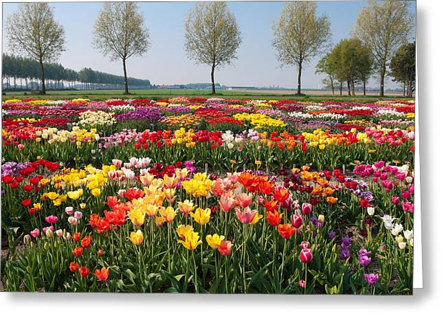 Greeting Card featuring the photograph Colorful Tulips by Hans Engbers