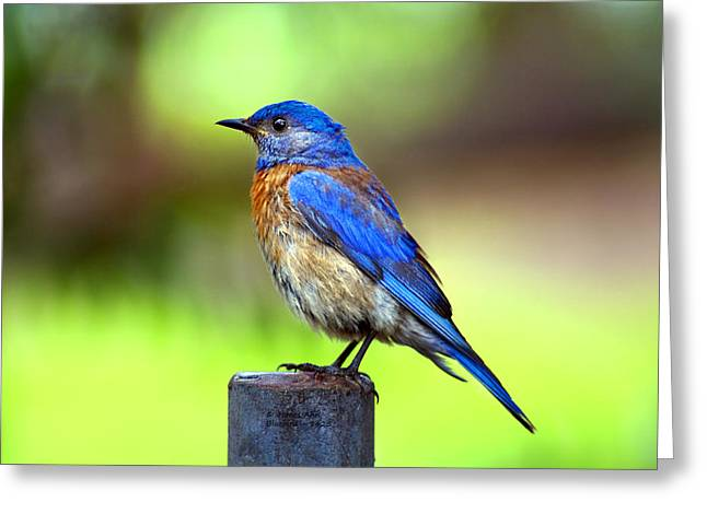Colorful - Western Bluebird Greeting Card