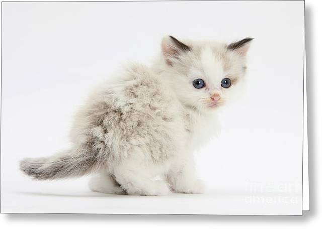 Colorpoint Kitten Greeting Card by Mark Taylor