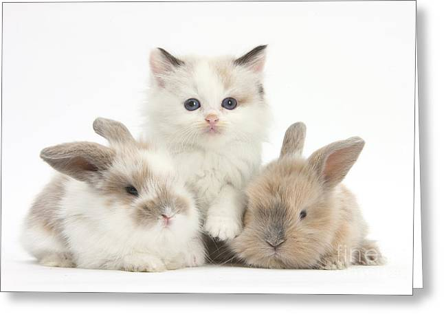Colorpoint Kitten With Baby Rabbits Greeting Card by Mark Taylor