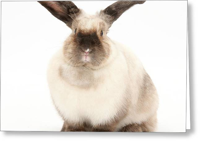 Colorpoint Rabbit Greeting Card by Mark Taylor