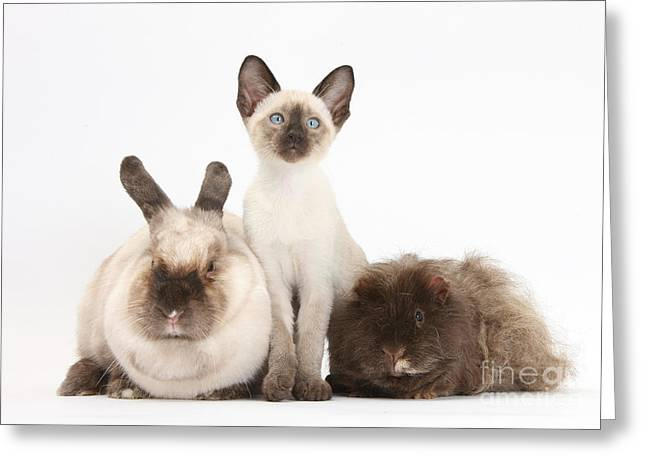 Colorpoint Rabbit, Shaggy Guinea Pig Greeting Card by Mark Taylor