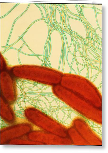 Coloured Tem Of Escherichia Coli Bacteria Greeting Card by Dr Kari Lounatmaa