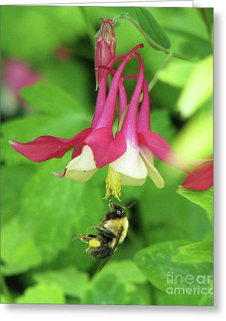 Greeting Card featuring the photograph Columbine And Bee by Michele Penner