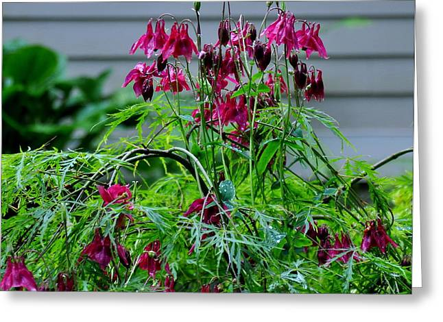 Columbine And Japanese Maple Greeting Card by Tanya  Searcy