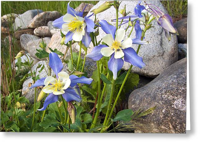 Columbine Colorado State Flower Greeting Card