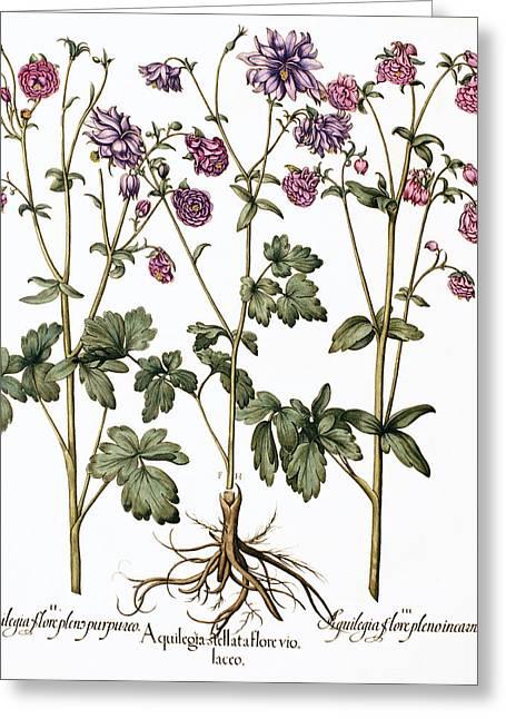 Columbine Flowers Greeting Card by Georgette Douwma