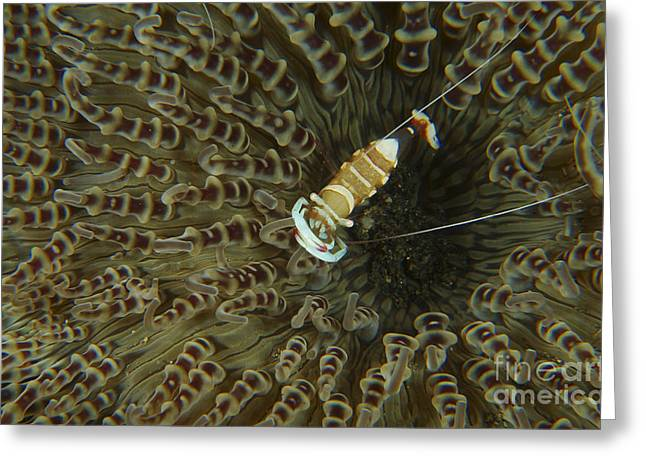 Commensal Shrimp On Brown Anemone Greeting Card by Mathieu Meur