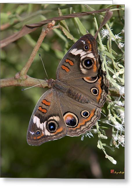 Common Buckeye Butterfly Din182 Greeting Card