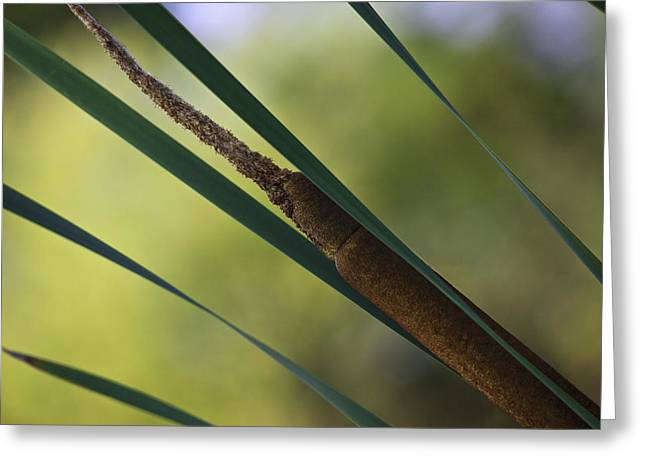 Common Cattail Greeting Card