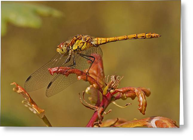 Greeting Card featuring the photograph Common Darter 2 by Paul Scoullar