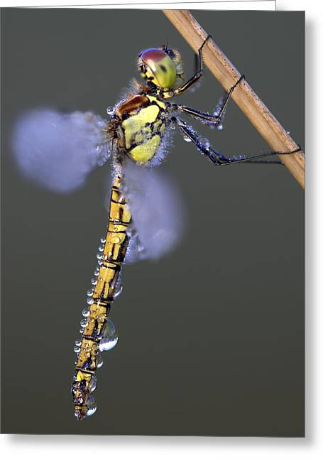 Common Darter Greeting Card by Colin Varndell