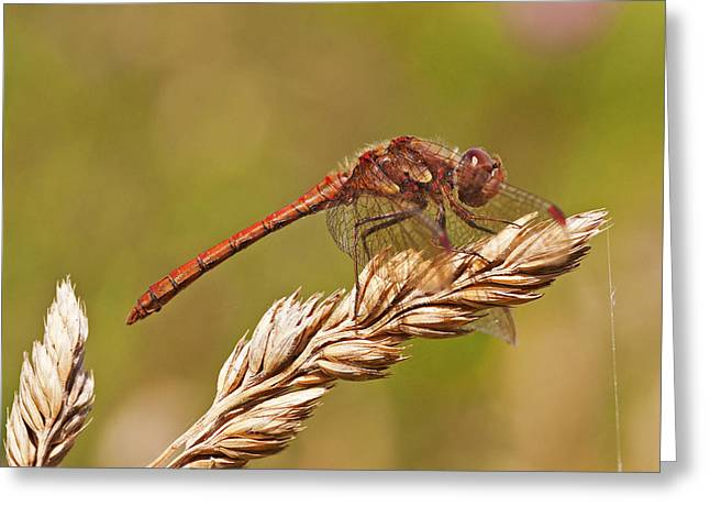 Greeting Card featuring the photograph Common Darter by Paul Scoullar