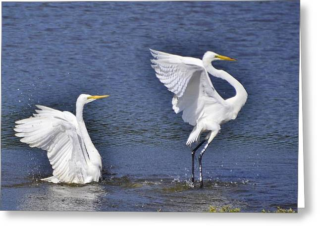 Common Egrets Greeting Card