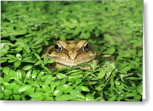 Common Frog Greeting Card by Cordelia Molloy