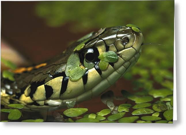 Common Garter Snake Thamnophis Sirtalis Greeting Card