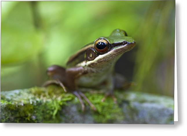 Common Greenback Frog II Greeting Card by Zoe Ferrie
