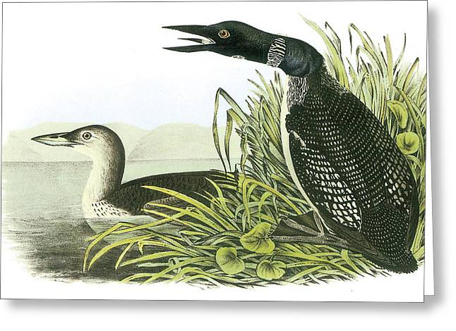 Common Loon Greeting Card