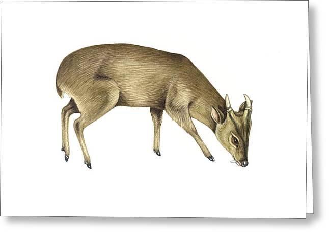 Common Muntjac Deer, Artwork Greeting Card by Lizzie Harper