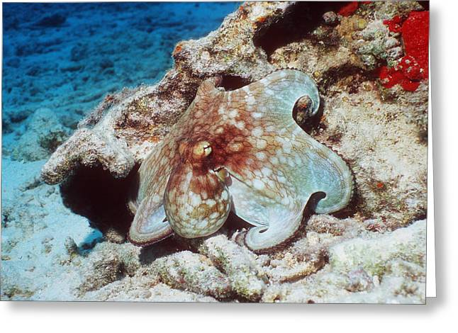 Common Octopus Greeting Card by Georgette Douwma