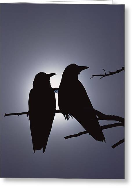 Common Raven Corvus Corax Pair Perching Greeting Card by Michael Quinton
