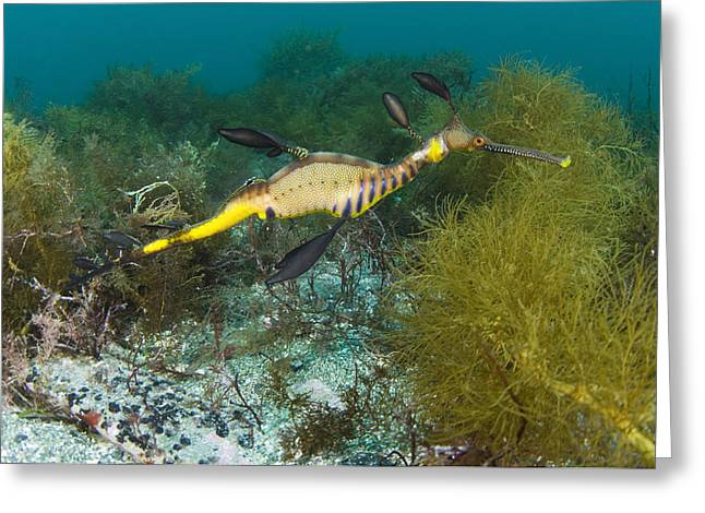 Common Sea Dragon Greeting Card by Matthew Oldfield