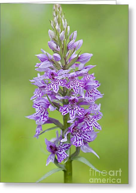 Common Spotted Orchid Greeting Card by Jacky Parker